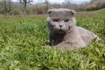 Кот шотландской породы