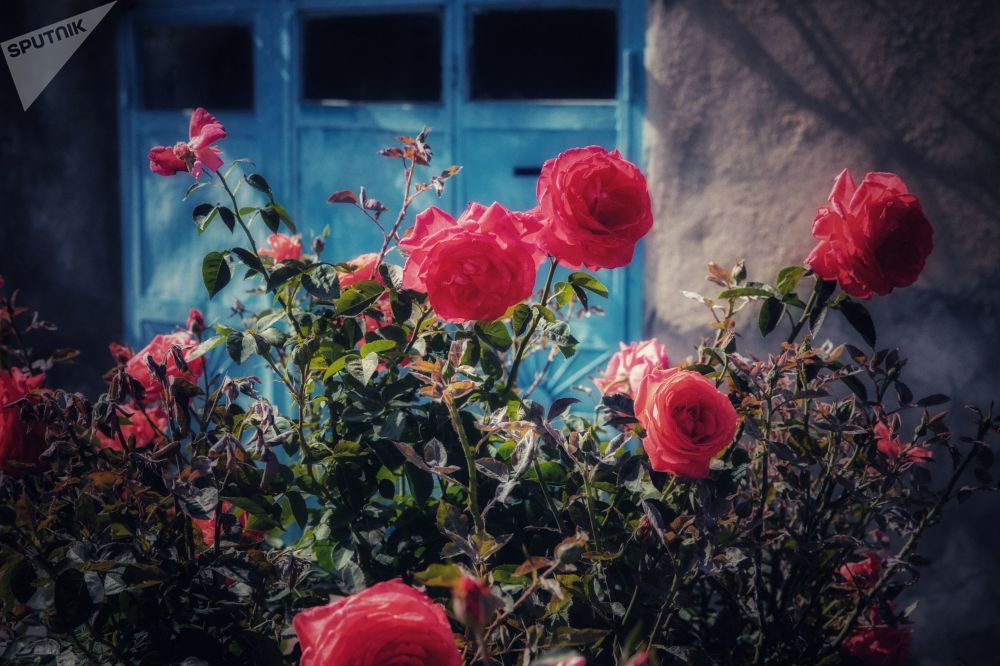 Цветение роз в Цхинвале