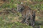 Переднеазиатский леопард (кавказский барс) Волна на территории Дигорского ущелья