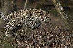 Переднеазиатский леопард (кавказский барс)