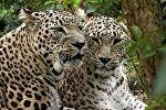 Переднеазитские леопарды