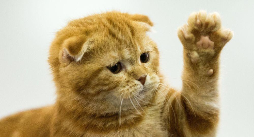 Кошка породы Скоттиш страйт