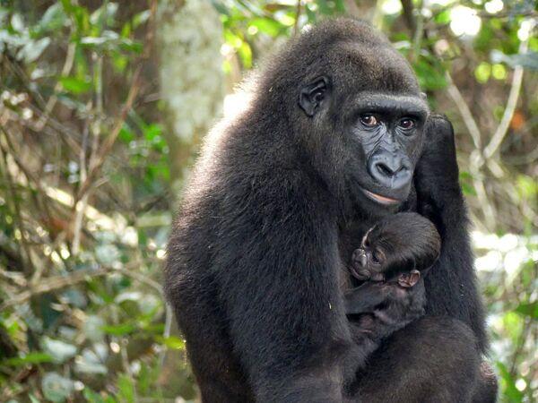 Детеныш гориллы, рожденный в дикой природе от родителей, выросших в неволе и перемещенных в национальный парк плато Батеке на юго-востоке Габона  - Sputnik Южная Осетия