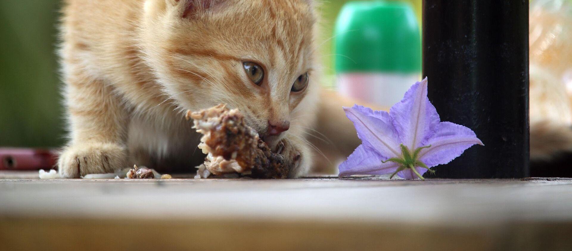 Упрямый котенок отжал у хозяина обед - Sputnik Южная Осетия, 1920, 02.08.2021