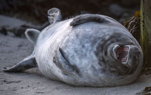 A young grey seal rolls on his back on the beach on the north Sea island of Helgoland, Germany, on January 4, 2020. - Hundreds of Grey Seals use the island to give birth to their pups, usually between the months of November and January. The pups, after 3 weeks of nursing, are then left to fend for themselves. 524 grey seal births have been recorded in the period from November 13 to December 26, 2019.  - Sputnik Южная Осетия