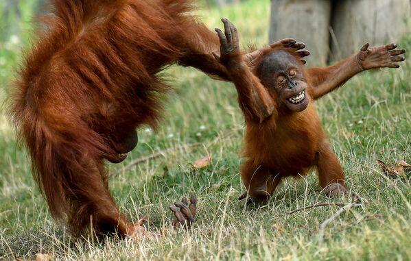 A baby Orang-utan of Sumatra plays with its mother in its enclosure at Pairi Daiza animal park in Brugelette, western Belgium, on August 15, 2019.  - Sputnik Южная Осетия