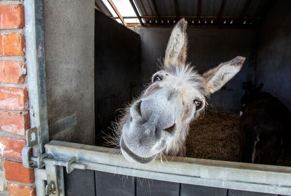 A rescue donkey peers out from the stables at the Donegal Donkey Sanctuary in Castledooey Co Donegal, Ireland on June 5, 2020, as the novel coronavirus COVID-19 pandemic forces the closure of its gates to visitors and on the brink of a financial crisis with no income to feed and care for the up to 100 rescue donkeys. - Ireland will dramatically accelerate its plan to ease coronavirus lockdown restrictions in the coming days, Prime Minister Leo Varadkar said Friday.  - Sputnik Южная Осетия