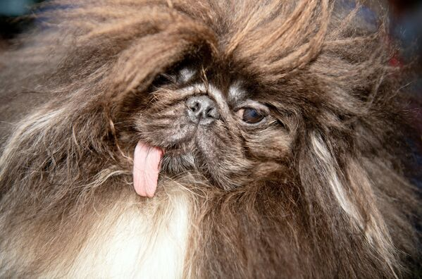 Wild Thang, a 3-year old Pekingese, is shown before the start of the World's Ugliest Dog Competition in Petaluma, California on June 21, 2019.  - Sputnik Южная Осетия