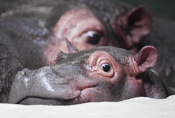 Baby hippopotamus Halloween rests next to his mother Kathy on December 6, 2019 at the zoo in Karlsruhe, southern Germany. - Halloween was born at the zoo on October 31, 2019 - therefore resulting his name.  - Sputnik Южная Осетия