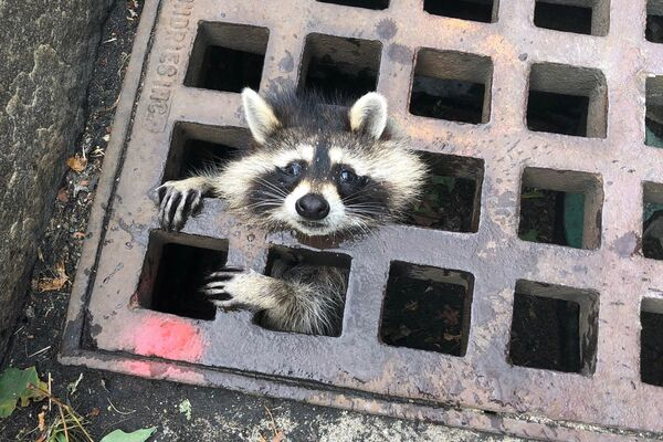 In this photo released by the Newton Fire department, a juvenile raccoon looks out from a grate after getting stuck in Newton, Massachusetts on August 1, 2019. - The fire department was able to rescue the raccoon and free him from the grate.  - Sputnik Южная Осетия
