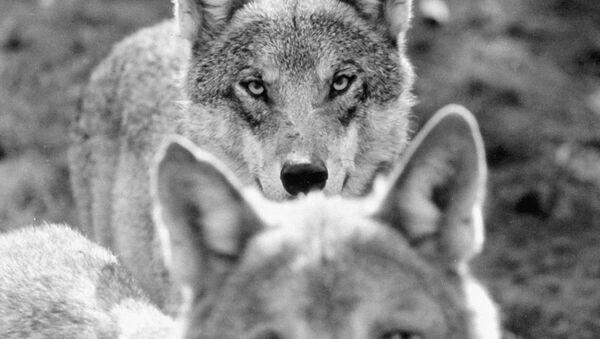 Волки - Sputnik Южная Осетия