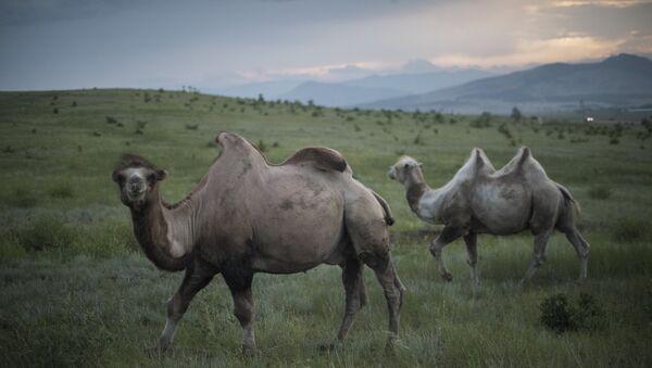 Верблюдоводство - Sputnik Южная Осетия