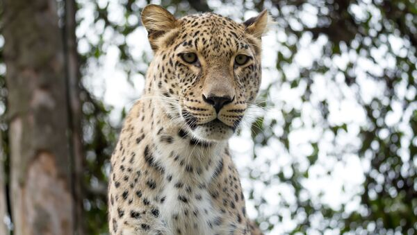 Переднеазиатский леопард - Sputnik Южная Осетия