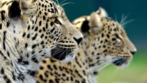 Леопард - Sputnik Южная Осетия