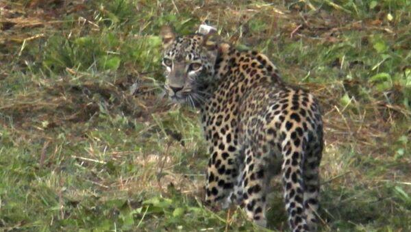 Переднеазиатский леопард (кавказский барс) Волна на территории Дигорского ущелья - Sputnik Южная Осетия