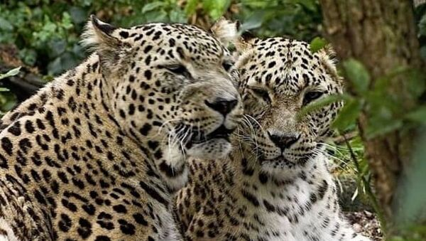 Переднеазитские леопарды - Sputnik Южная Осетия