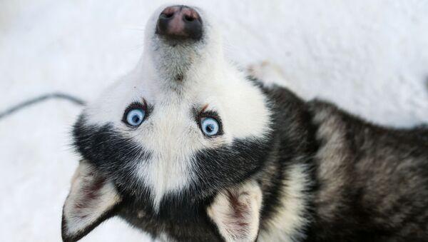 Собака породы хаски в парке Сокольники в рамках проведения реабилитационной и образовательной программы По пути с хаски - Sputnik Южная Осетия