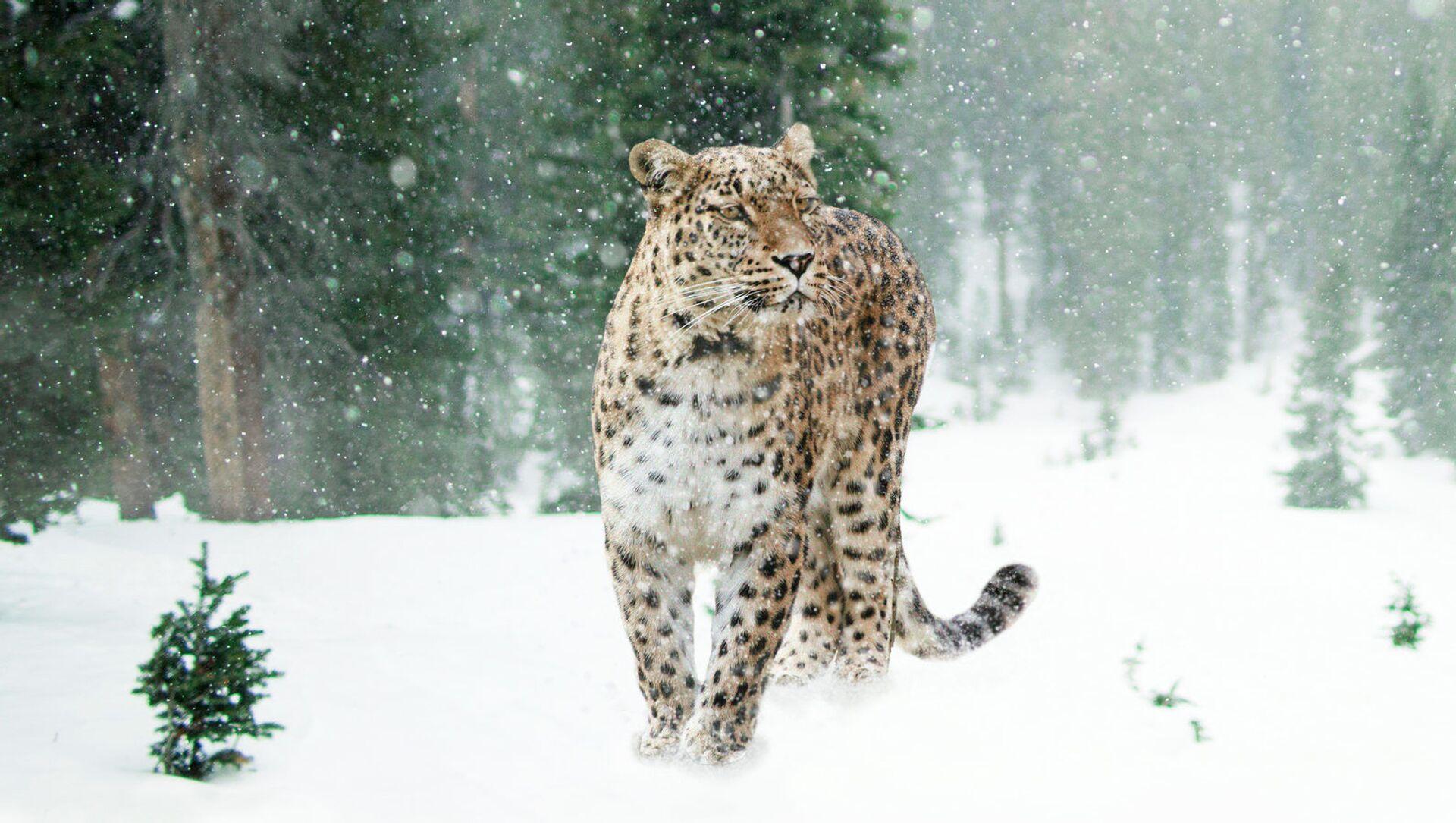 Переднеазиатский леопард (кавказский барс) - Sputnik Южная Осетия, 1920, 27.09.2021