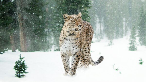 Переднеазиатский леопард (кавказский барс) - Sputnik Южная Осетия